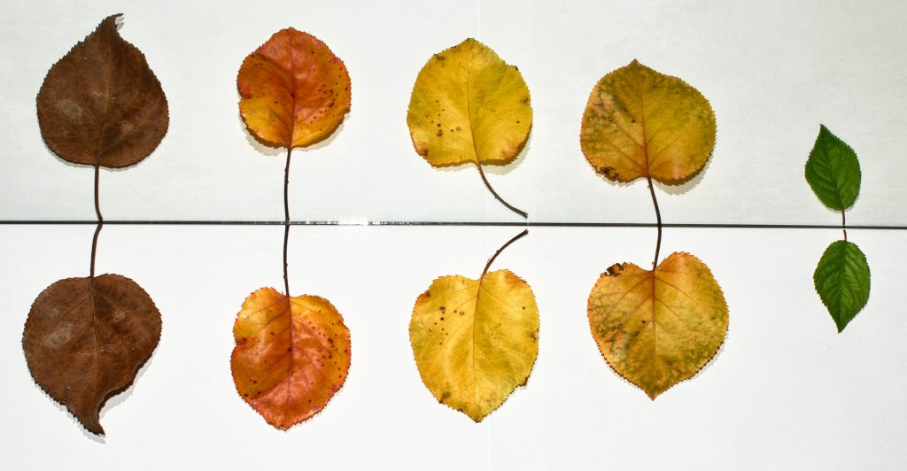 hojas de árbol pasando por diferentes colores